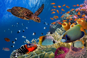 Aluminium Prints Under water Colorful coral reef with many fishes and sea turtle