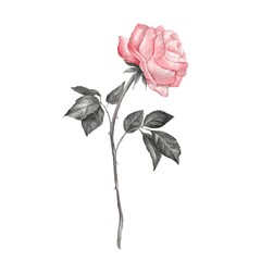 Single rose, isolated on white background. Watercolor 2
