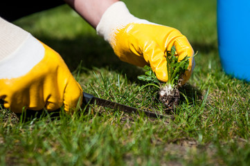 cutting out weeds / Man removes weeds from the lawn
