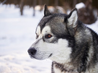 husky in the forest