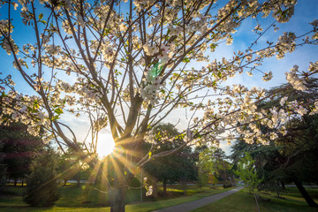 Sunlight through the Cherry tree