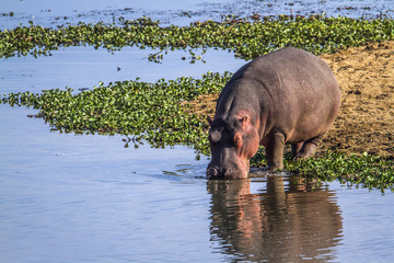 Hippopotamus in Kruger National park, South Africa