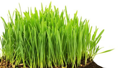 Grass start to grow isolated at white background
