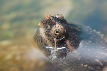 turtle head out of water close up