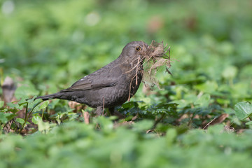 Common blackbird builds its nest