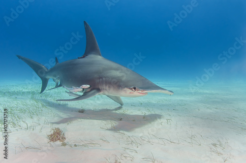 great hammerhead shark pictures - HD1280×847