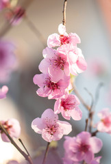 flowering peach tree branch