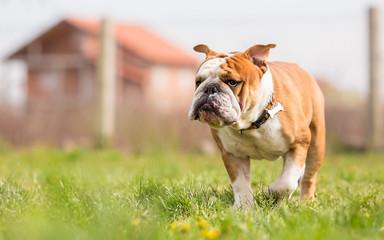 Portrait of English Bulldog in the garden