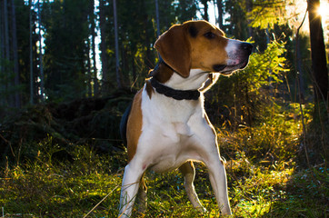 Beagle portrait in summer forest . sunset time.