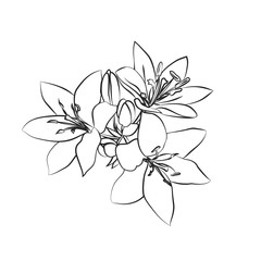 Lily sketch on white background.