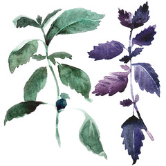 Watercolor basil illustration. Fresh branch of spice on white background. Purple and green basil with real paper texture for organic food badge.