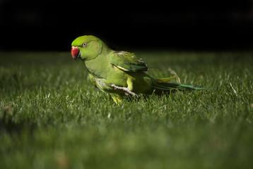 Rose-ringed Parakeet enjoy the free walks through the grass