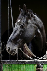 racehorse portraits, animals