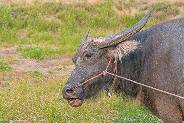Portrait of Water Buffalo on grass field - Head close up