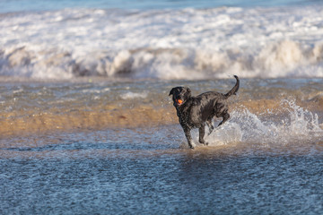 Black Labrador retriever dog runs and plays along a beach in New England, Cape Cod, Massachusetts.