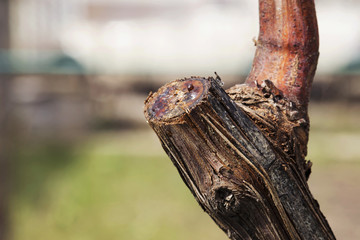 the grape pruning