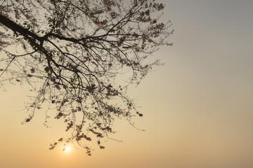 Silhouette of Sakura on morning Monday in japan