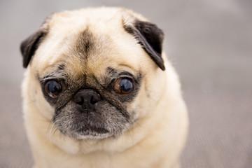 Cute pug portrait on a gray background