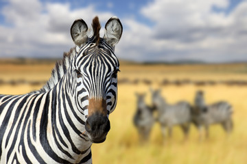 Zebra on grassland in Africa Wall mural