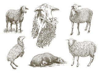 sheep breeding sketch