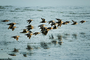 Flock of Bar-tailed Godwits (Limosa lapponica) on migratory journey from Siberia