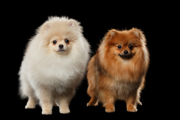 Two Fluffy Cute White and Red Pomeranian Spitz Dogs isolated
