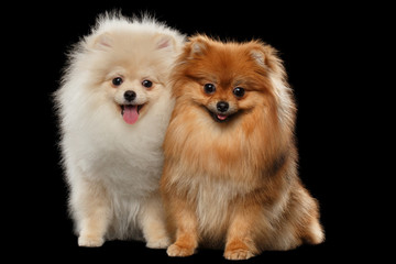 Two Furry White Red Pomeranian Spitz Dogs Sitting, Smiling isolated