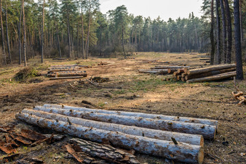Cutting pine forest. Focus is on logs.