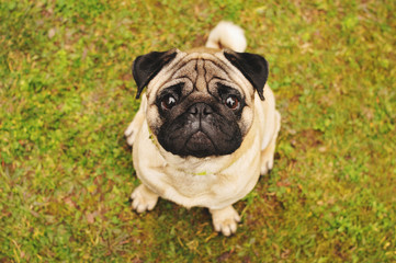 Pug sitting on green grass