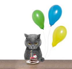 British cat celebrating birthday with piece of cake and balloons