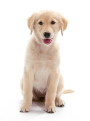 Sitting Puppy Golden Retriever