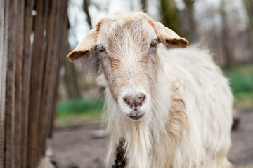Goat portrait with natural background