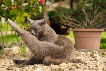 Gatto si lava la zampa