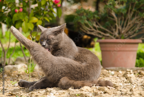 Gatto Si Lava La Zampa Stock Photo And Royalty Free Images On