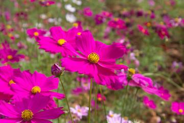 Cosmos flowers in the outdoor garden