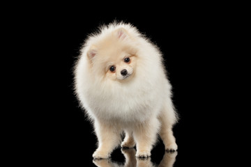 Fluffy Cute White Pomeranian Spitz Dog Standing, Curiously Looking isolated
