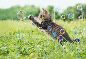 Kitten playing with soap bubbles
