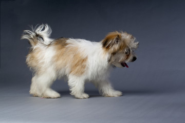 havanese puppy walking