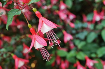 Hanging fuchsia flowers in shades of pink, purple and white