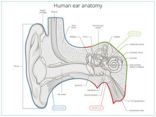 Human ear structure medical educational vector
