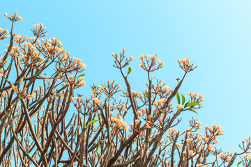 Yellow Plumeria (Frangipani) flowers blooming on plumaria tree and clear blue sky.