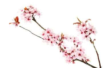 Branch of blooming cherry tree, sakura isolated on white background