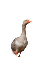 one fat grey goose on a white isolated background