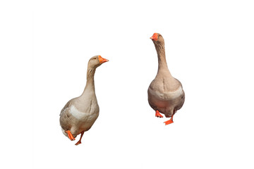 two Greylag geese marching on the white isolated background