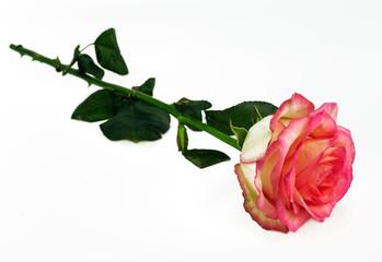 fresh delacate  pink rose lies on a white background. declaratio