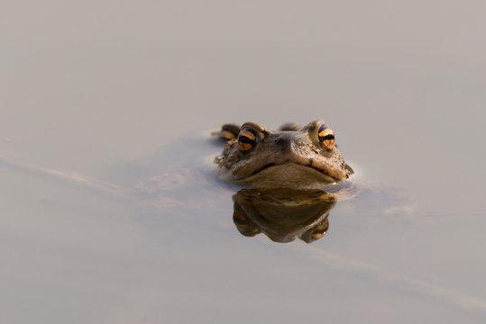 Erdkröten (Bufo bufo) bei der Paarung im Teich