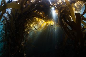 Fototapete - Dark Kelp Forest in California