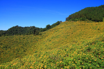Tung Bua Tong Mexican sunflower under blue sky in Maehongson Thailand