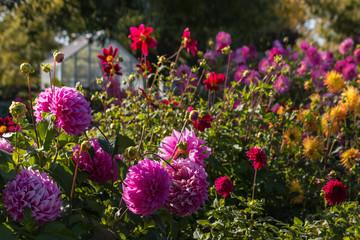colorful dahlias in garden