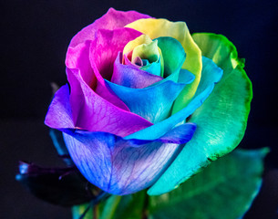 Multi colored rose blossom, rainbow colors